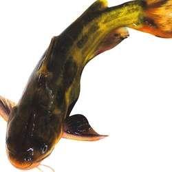 鲢鱼的功效与作用