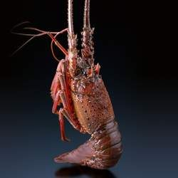 龙虾的功效与作用