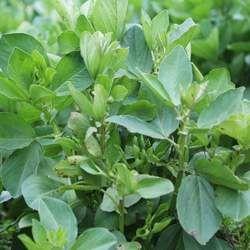 豌豆苗的功效与作用