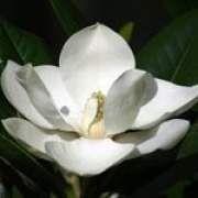 玉兰花的功效与作用