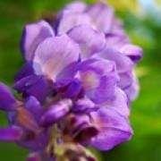 紫藤花的功效与作用