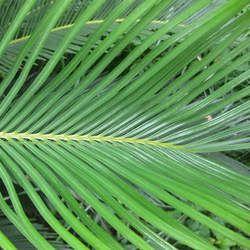 铁树叶的功效与作用